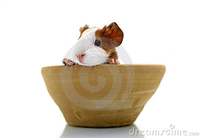 Newborn guinea pig in pottery