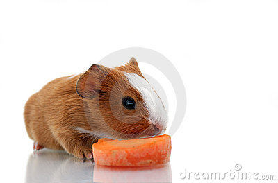 Newborn guinea pig with carrot