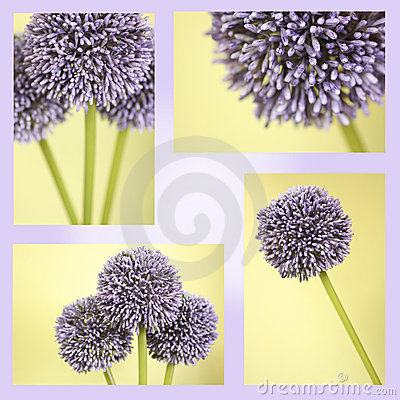 Montage of purple Alium flowers
