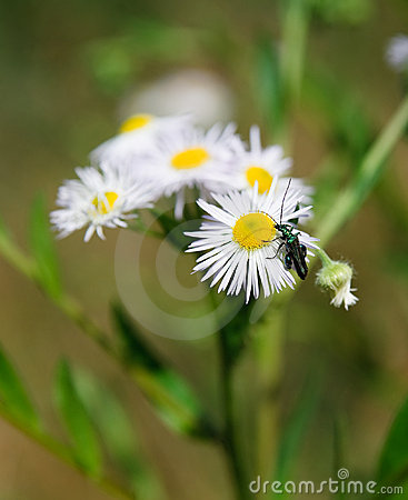 White daisie with an insect