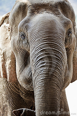 Adult elephant face.