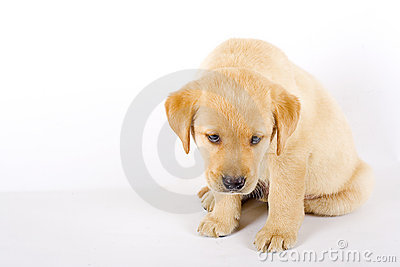 Curious Labrador retriever puppy