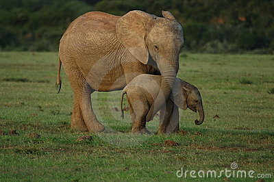 Elephants - mother and baby