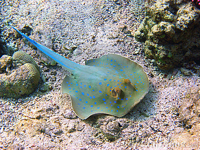 Blue-spotted stingray and coral