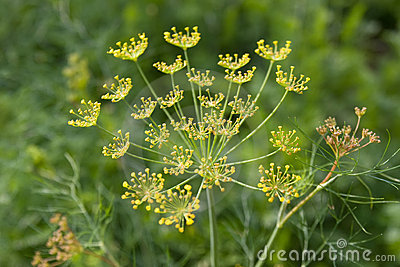 Dill flavouring