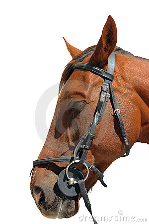 Brown horse with bridle
