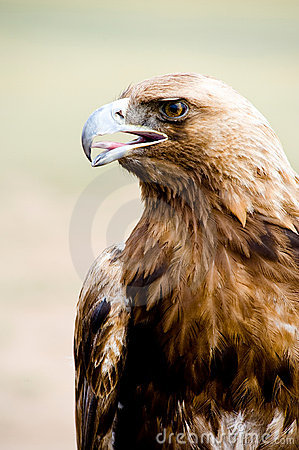Golden Eagle. Aquila chrysaetos.