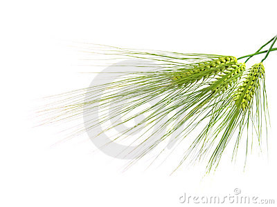 Green rye spikes with room for text