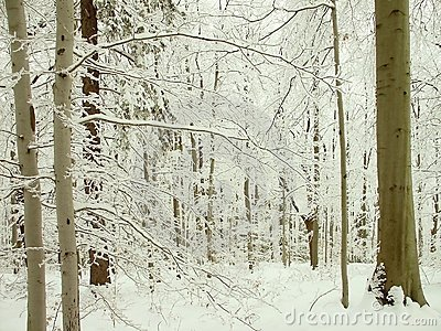 Winter forest of beech trees in mountains
