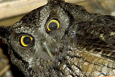 Gray owl (close up)