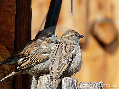 Three sparrows on fence