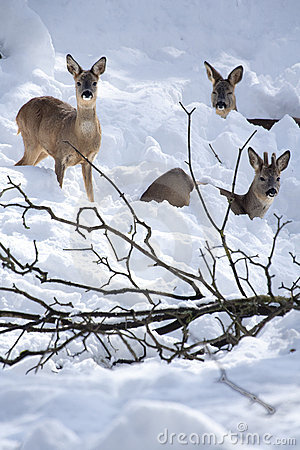 Three Roe Deers (Capreolus capreolus) in the snow