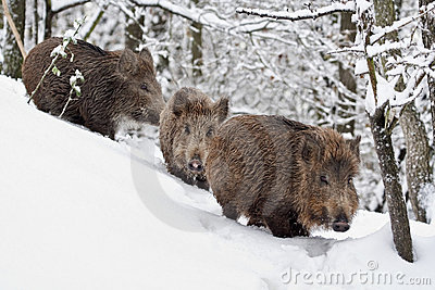 Three Young wildboars (Sus scrofa)