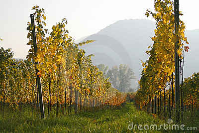 Rows of vines at a vineyard in Austria