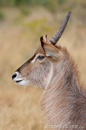 Waterbuck, Kruger Park, South Africa