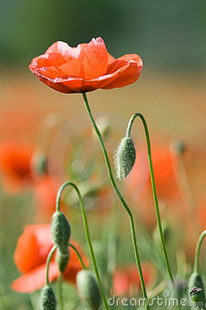 Red poppy on the flowering meadow background
