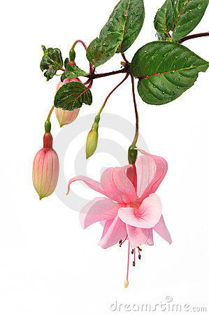 Pink fuchsia flower isolated on white