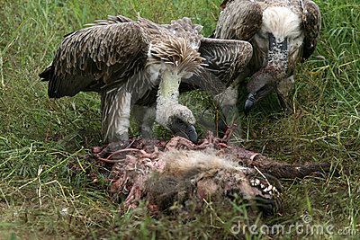 Vultures Eating - Serengeti, Tanzania, Africa