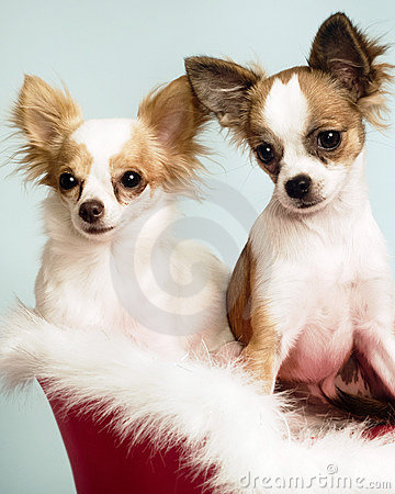 Two cute little  chihuahuas