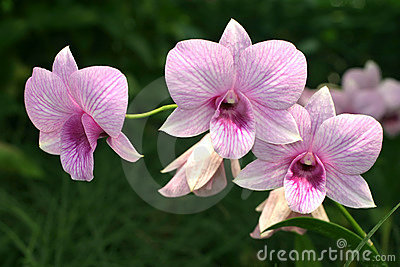 Pink veined dendrobium orchids