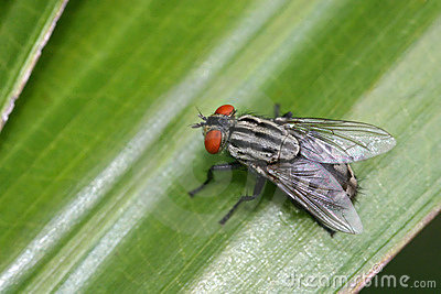 Common striped fly