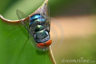 Common blue-bottle fly