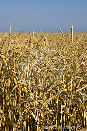 Wheat field in Crimea
