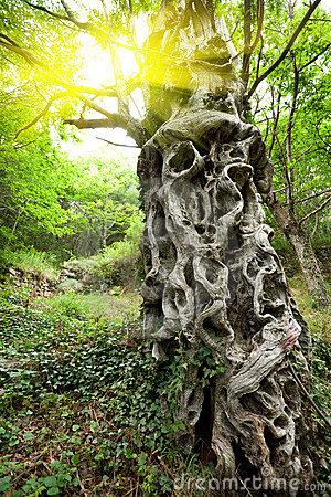 Sweet chestnut tree trunk