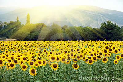 Sunflower landscape