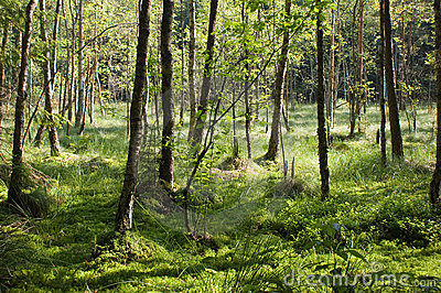 Boggy forest