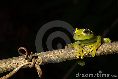 green tree frog isolated black copy space treefrog