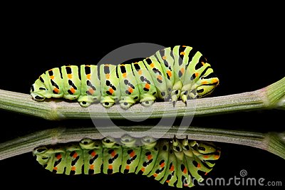 Caterpillar butterfly mahaon close-up on a black background with unusual reflection