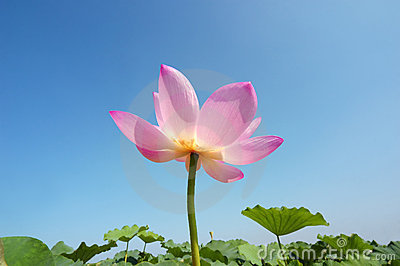 Lotus in summer