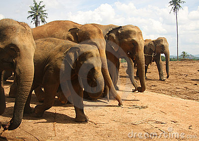Herd of elephants going in rank