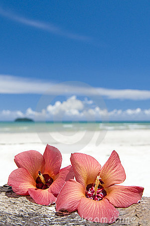 Hibiscus on beach