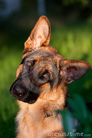 German shepher