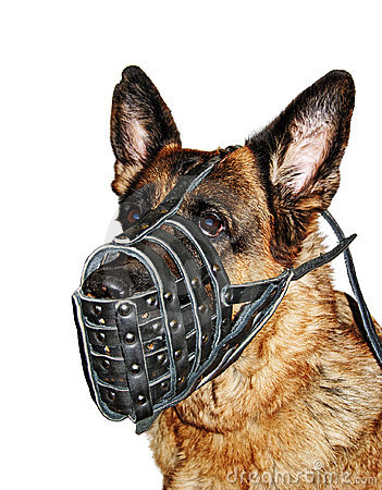German shepherd in muzzl