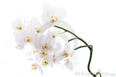White orchids isolated on white.