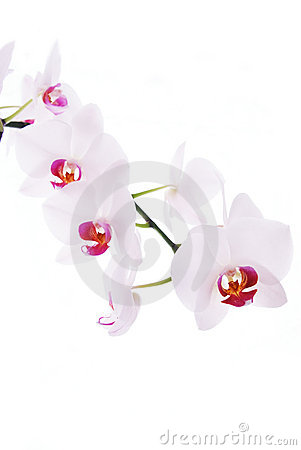 Branch of snow orchids isolated on white