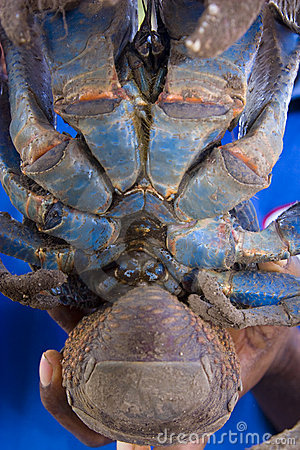 Underneath of coconut crab