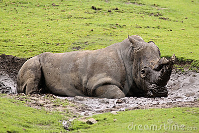 Rhino laying in the mud