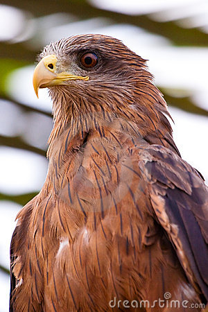Black kite bird sitting in a tree
