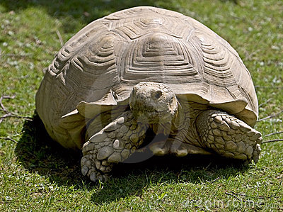 African spurred tortoise 6