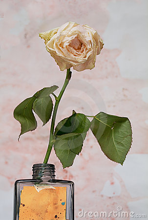 Faded white rose against grungy background