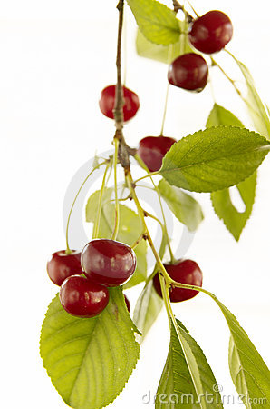 Red cherry on branch