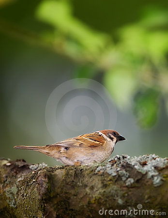 Garden sparrow - late sunset