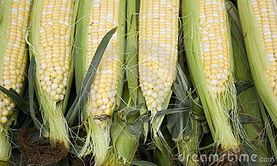 Freshly Picked Corn on the Cob