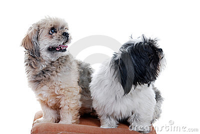 Two lhasa apso dogs