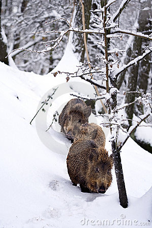 Wild boars or Wild hogs (Sus scrofa) in the snow