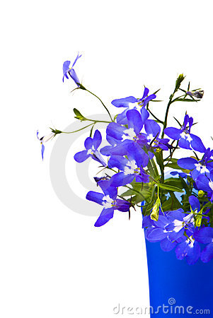 Beautiful flowers Lobelia